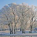 White Frost Tree