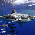A Great White Shark Swims In Clear Print by Mauricio Handler