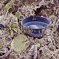 Fossilised Diatoms, Sem by Steve Gschmeissner
