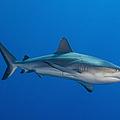 Gray Reef Shark, Kimbe Bay, Papua New by Steve Jones