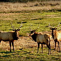 3 Magnificent Bull Elk by Cindy Wright