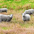Sheeps by MotHaiBaPhoto Prints