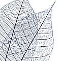 Skeleton Leaves by Elena Elisseeva