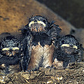 Swallow Chicks by Georgette Douwma
