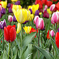 Tulip Garden University Of Pittsburgh  by Thomas R Fletcher