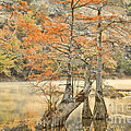 Cypress Trees In The Mist by Iris Greenwell