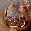 Hippopotamus Hippopotamus Amphibius by Gerry Ellis
