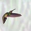 Hummingbird by David Tipling