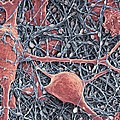 Nerve Cells And Glial Cells, Sem Print by Thomas Deerinck, Ncmir