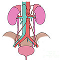 Illustration Of Urinary System by Science Source