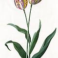 5 Tulip Tulip  by Georg Dionysius Ehret