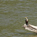 Double-crested Cormorant by Jack R Brock