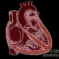 Illustration Of Heart Anatomy by Science Source