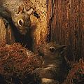 A A Baby Eastern Gray Squirrel Sciurus by Chris Johns