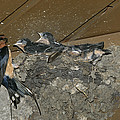 A Barn Swallow Mother Feeds Her Young by Norbert Rosing