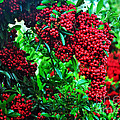 A Berry Merry Christmas Print by Kaye Menner