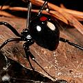 A Black Widow Spider Latrodectus by George Grall
