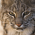 A Bobcat At The Rolling Hills Zoo by Joel Sartore
