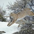 A Bobcat Leaps With A Horned Lark by Michael S. Quinton