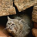 A Bobcat Pokes Out From Its Alcove by Norbert Rosing