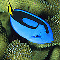 A Bright Blue Palette Surgeonfish by Tim Laman