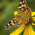 A Butterfly Sits Atop A Yellow by Ralph Lee Hopkins