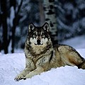 A Captive Grey Wolf, Canis Lupus by Joel Sartore