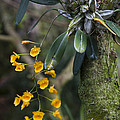 A Close View Of A Beautiful Dendrobium by Taylor S. Kennedy