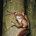 A Collets Tree Frog Rhacophorus Colleti by Tim Laman