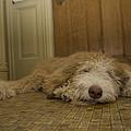 A Dog Lies On A Linoleum Floor by Joel Sartore