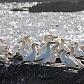 A Flock Of Gannets Standing On A Rock by John Short
