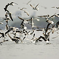 A Flock Of Laughing Gulls Larus by Tim Laman