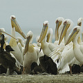 A Group Of Eastern White Pelicans by Klaus Nigge