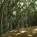 A Grove Of Banyan Trees Send Airborn by Paul Damien