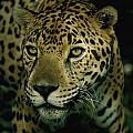 A Jaguar On The Prowl Print by Steve Winter