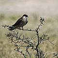 A Juvenile Hobby Perches On A Branch by Klaus Nigge