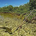 A Lemon Shark Pup Swims Among Mangrove by Brian J. Skerry
