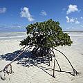 A Lone Mangrove Tree On A Sand Spit Print by Scott S. Warren