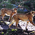 A Pair Of Cheetah's by Bill Cannon