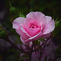 A Pink Rose by Xueling Zou