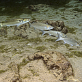 A Small School Of Grey Mullet Swim by Terry Moore