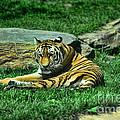 A Tiger's Gaze by Paul Ward
