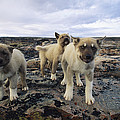 A Trio Of Growling Husky Puppies by Paul Nicklen