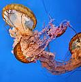 A Trio Of Jellyfish by Kristin Elmquist