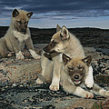 A Trio Of Playful Husky Puppies by Paul Nicklen