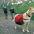 A Yellow Labrador, Wearing A Backpack by Rich Reid