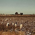 African American Day Laborers Picking by Everett