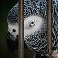 African Grey Print by Robert Meanor