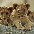 African Lion Three Cubs Resting by Tim Fitzharris