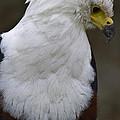 African Sea Eagle 5 by Heiko Koehrer-Wagner